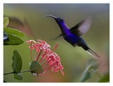 Violet Sabre-wing male hummingbird feeding at flower, Costa Rica Posters by Tim Fitzharris