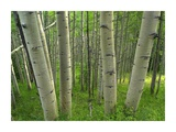 Aspen forest in spring, Gunnison National Forest, Colorado Posters by Tim Fitzharris