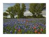 Sand Bluebonnets and Indian Paintbrush in bloom, Hill Country, Texas Posters by Tim Fitzharris