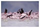 Lesser Flamingo flock taking flight from the surface of a lake, Kenya Prints by Tim Fitzharris