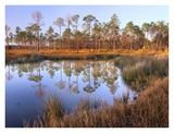 Pines reflected in pond near Piney Point, Hagen's Cove, Florida Prints by Tim Fitzharris