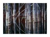 Western Red Cedar trees, Oliphant Lake, British Columbia, Canada Plakater af Tim Fitzharris
