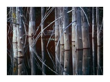 Western Red Cedar trees, Oliphant Lake, British Columbia, Canada Prints by Tim Fitzharris