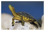 Yellow-bellied Slider turtle, portrait, on rock, North America Art by Tim Fitzharris