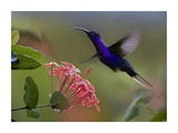 Violet Sabre-wing male hummingbird feeding at flower, Costa Rica Art by Tim Fitzharris