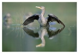 Double-crested Cormorant stretching its wings, North America Art by Tim Fitzharris