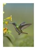 Andean Emerald hummingbird feeding on a yellow flower, Ecuador Prints by Tim Fitzharris