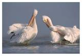 American White Pelican pair preening in shallow water, Texas Coast, Texas Posters by Tim Fitzharris