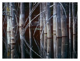 Western Red Cedar trees, Oliphant Lake, British Columbia, Canada Posters by Tim Fitzharris