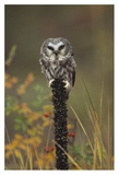 Northern Saw-whet Owl perching on a post, British Columbia, Canada Poster by Tim Fitzharris