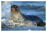 Northern Elephant Seal female in splashing surf, North America Poster di Tim Fitzharris