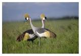 Grey Crowned Crane couple courting, Masai Mara National Reserve, Kenya Reprodukcje autor Tim Fitzharris