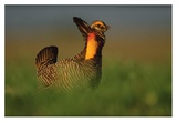 Greater Prairie Chicken male in courtship display, Eagle Lake, Texas Posters by Tim Fitzharris