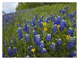 Bluebonnet and Texas Yellowstar meadow, Cedar Hill State Park, Texas Posters by Tim Fitzharris