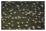 Aerial view of a mixed flock of Lesser Flamingo group Kenya, Africa Print by Tim Fitzharris