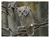 Great Horned Owl pale form, Kootenays, British Columbia, Canada Posters by Tim Fitzharris
