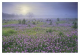 Sand Verbena flower field at sunrise in fog, Hill Country, Texas Print by Tim Fitzharris