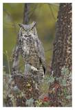 Great Horned Owl in its pale form perching on snag, British Columbia, Canada Art by Tim Fitzharris