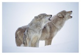 Timber Wolves close-up portrait of pair howling in snow, North America Prints by Tim Fitzharris