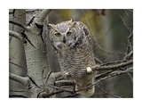Great Horned Owl pale form, Kootenays, British Columbia, Canada Prints by Tim Fitzharris