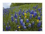 Bluebonnet and Texas Yellowstar meadow, Cedar Hill State Park, Texas Art par Tim Fitzharris