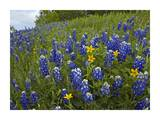 Bluebonnet and Texas Yellowstar meadow, Cedar Hill State Park, Texas Art by Tim Fitzharris