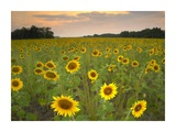 Field of sunflowers, Flint Hills National Wildlife Refuge, Kansas Prints by Tim Fitzharris