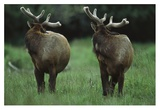 Elk pair looking behind them, Redwood National Park, California Poster by Tim Fitzharris