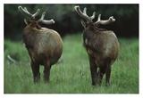 Elk pair looking behind them, Redwood National Park, California Poster by Tim Fitzharris