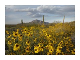 Saguaro cacti and Brittlebush at Picacho Peak State Park, Arizona Posters by Tim Fitzharris