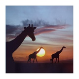 Giraffe trio at sunrise, Masai Mara, Kenya, composite image Print by Tim Fitzharris