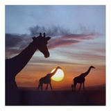 Giraffe trio at sunrise, Masai Mara, Kenya, composite image Prints by Tim Fitzharris