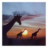 Giraffe trio at sunrise, Masai Mara, Kenya, composite image Affischer av Tim Fitzharris