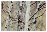 Long-eared Owl perching in a tree, circumpolar species, British Columbia, Canada Posters by Tim Fitzharris