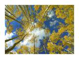 Looking up at blue sky through a canopy of fall colored Aspen trees, Colorado Print by Tim Fitzharris
