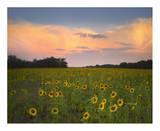 Common Sunflower field near Flint Hills National Wildlife Refuge, Kansas Affiches par Tim Fitzharris