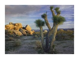 Joshua Tree and boulders, Joshua Tree National Park, California Prints by Tim Fitzharris