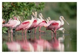 Roseate Spoonbill flock wading in pond, Texas coast near Galveston Poster by Tim Fitzharris