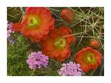 Claret Cup Cactus and Verbena detail of flowers in bloom, North America Posters by Tim Fitzharris