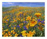 California Poppy and Desert Bluebell flowers, Antelope Valley, California Posters by Tim Fitzharris