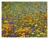California Poppy and Desert Bluebell flowers, Antelope Valley, California Art by Tim Fitzharris