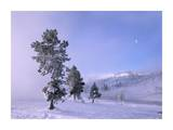 Snow-covered Pines with half moon in Yellowstone National Park, Wyoming Prints by Tim Fitzharris