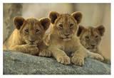 African Lion three cubs resting on a rock, Hwange National Park, Zimbabwe Kunst von Tim Fitzharris