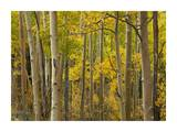 Aspen trees in autumn, Santa Fe National Forest near Santa Fe, New Mexico Print by Tim Fitzharris