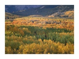Aspen trees in fall colors, Gunnison National Forest, Colorado Prints by Tim Fitzharris