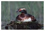 Horned Grebe parent incubating eggs on floating nest, North America Affiches par Tim Fitzharris