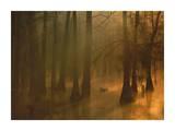 Mallard pair in Cypress swamp, Calcasieu River, Lake Charles, Louisiana Prints by Tim Fitzharris