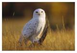 Snowy Owl adult amid dry grass, circumpolar species, British Columbia, Canada Prints by Tim Fitzharris