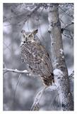 Great Horned Owl perched in tree dusted with snow, British Columbia, Canada Prints by Tim Fitzharris
