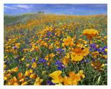California Poppy and Desert Bluebell flowers, Antelope Valley, California Prints by Tim Fitzharris